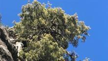 Ejemplar de cedro canario en Los Andenes.