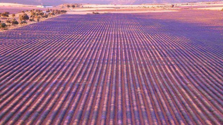 campos de lavanda en brihuega