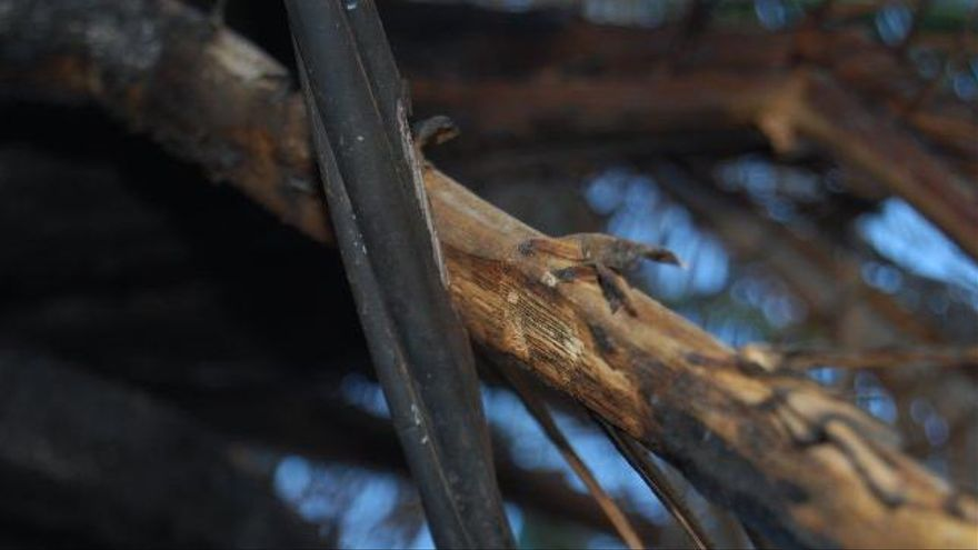 Cable de una línea de Endesa desgastado por el contacto directo con una rama de palmera en la que ocasionó un incendio