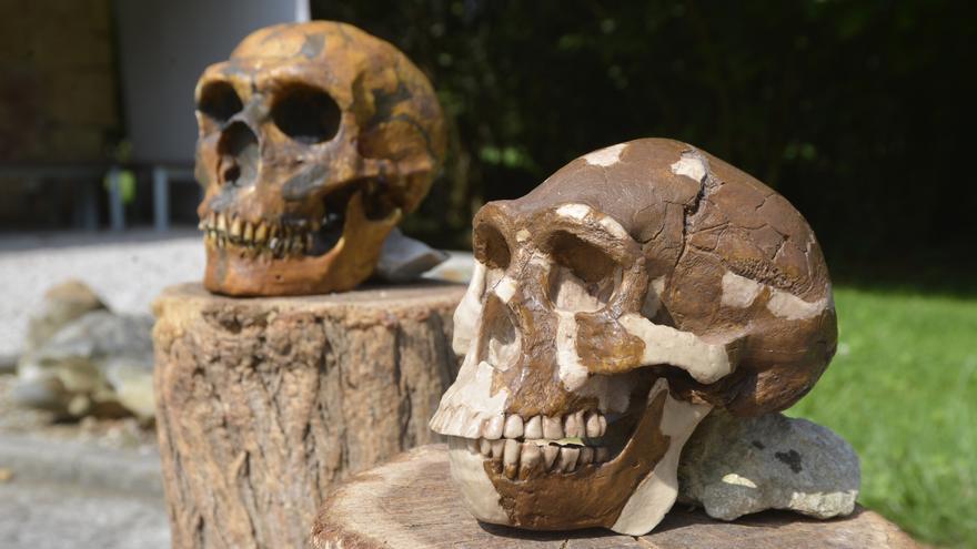Réplicas de homínidos africanos, europeos y asiáticos.   MUSEO DE ALTAMIRA