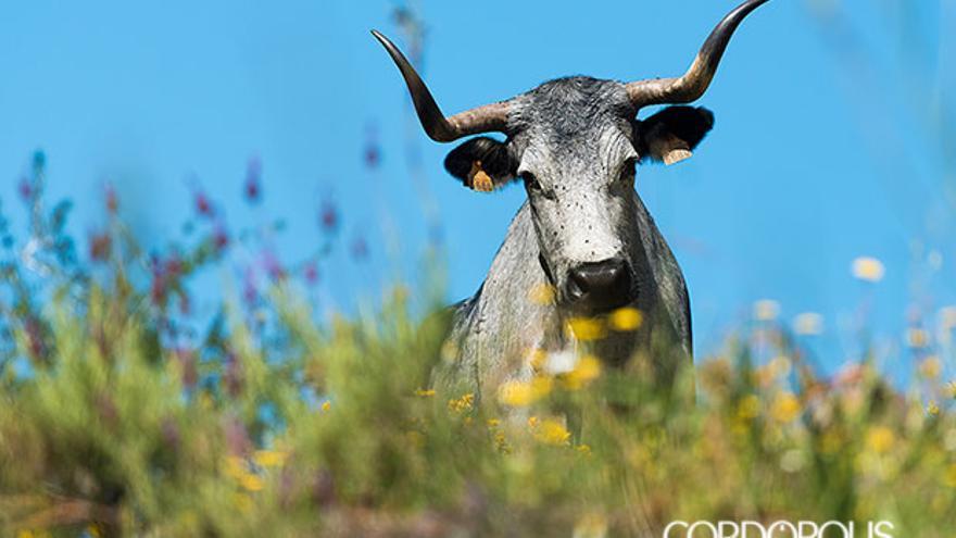 Un ejemplar de la vaca | TONI BLANCO