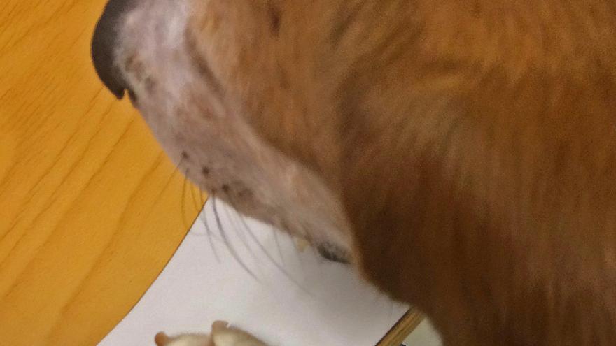 Sake, además de estar muy delgado, tiene un granulona por lamido en una de sus patas debido a la ansiedad y a comportamientos repetitivos (esterotipias). La foto fue tomada durante una sesión de prácticas del segundo cuatrimestre de este último curso.