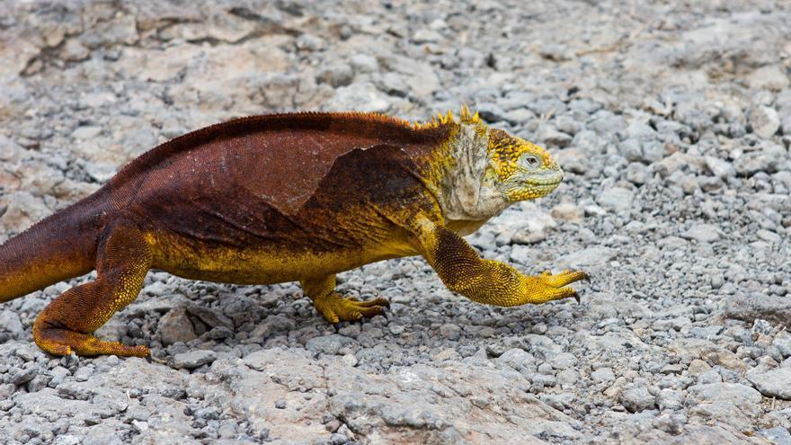 Iguana de tierra en Isla Plaza Sur, Galápagos. VIAJAR AHORA