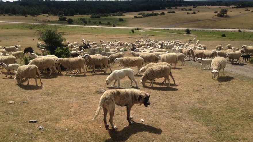 Imagen de la cabaña de ovejas de Juan Arenas, en Cantalojas, en plena Sierra Norte de Guadalajara