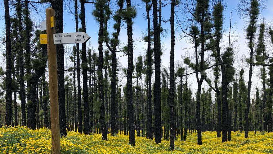 Corazoncitos en flor en la zona quemada el 2016 situada por encima de Tigalate, cota 1.500, en el municipio de Mazo