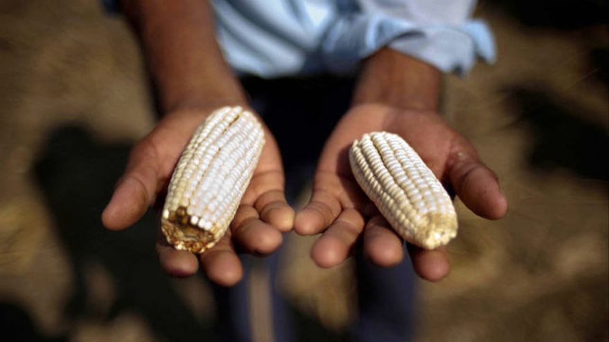 El maíz, principal sustento de las comunidades empobrecidas de Guatemala. Foto: Daniele Volpe / Action Aid