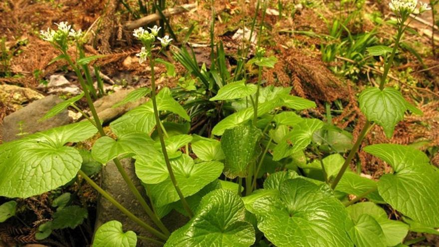 Planta de la que se obtiene el wasabi. Foto: Qwert1234