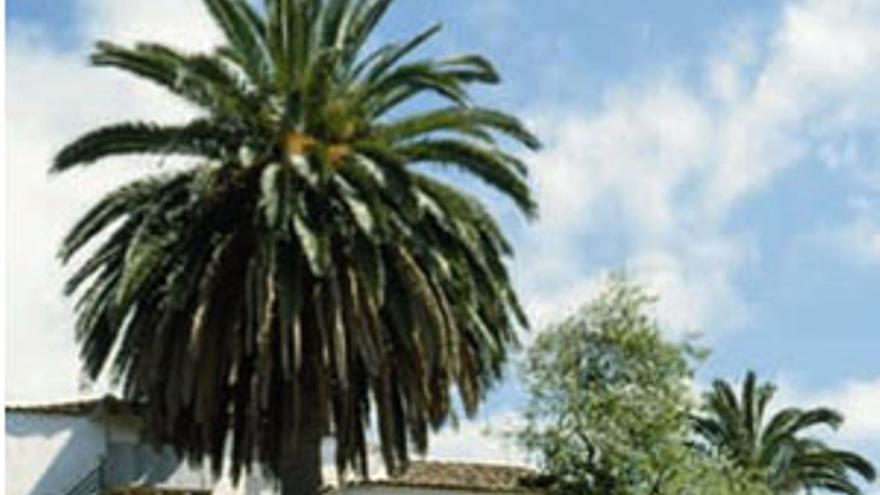 Ejemplar de palmera canaria. (CANARIAS AHORA)