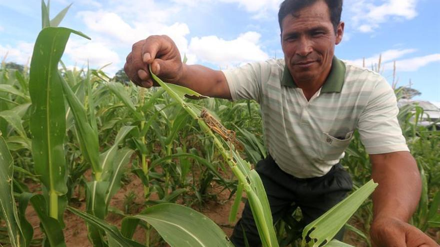 Bolivia afrontará la plaga de langostas con ayuda de expertos argentinos