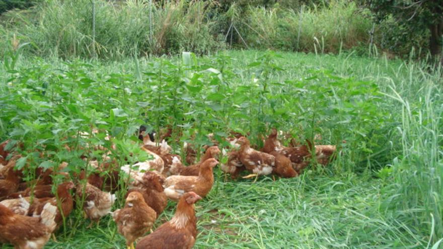 En la imagen, la gallinas de la granja Tierra Fuente de Puntallana.