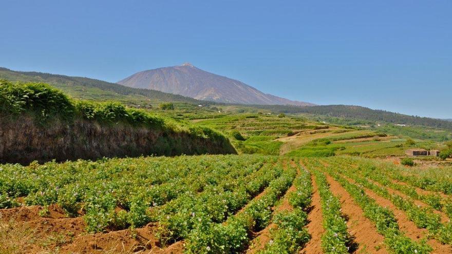 Parcela sembrada de papa de color, en los altos del norte de Tenerife