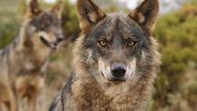 Ejemplares del lobo ibérico / Ana Retamero EA.