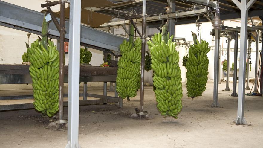 Plátanos en una sociedad cooperativa de Gran Canaria