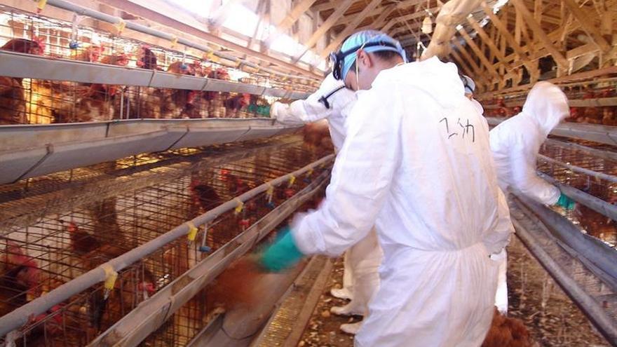 Sacrifican otros 122.000 pollos en el suroeste de Japón por gripe aviar