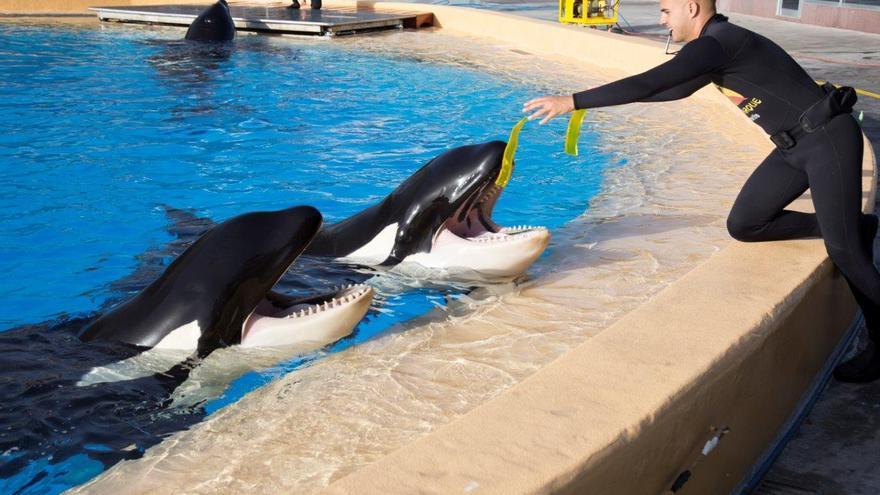 Varias de las orcas de Loro Parque junto a uno de sus cuidadores