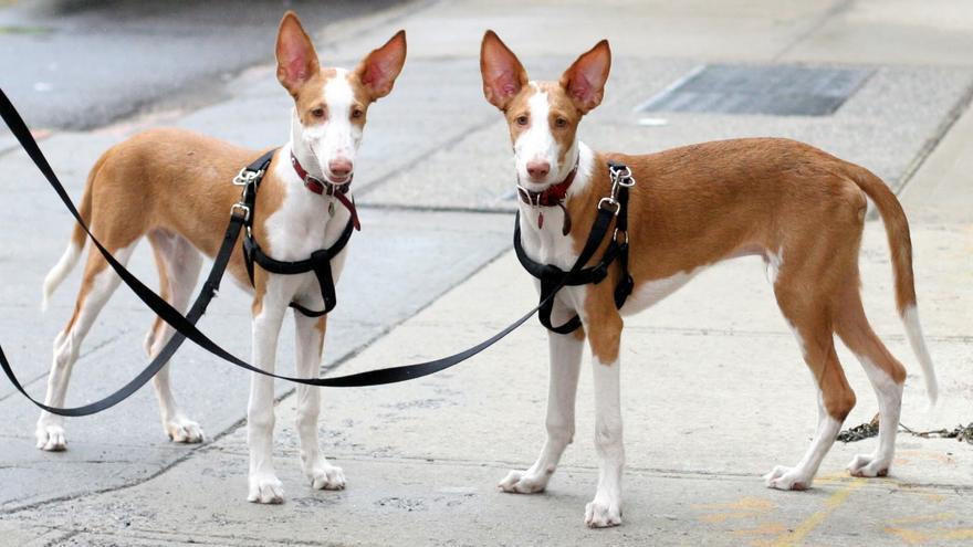 Un pareja de cachorros de podencos.