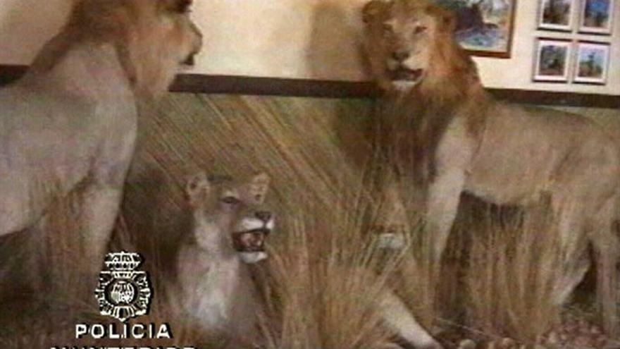 El Tribunal de Malaya estudia ceder a un museo los animales disecados de Roca