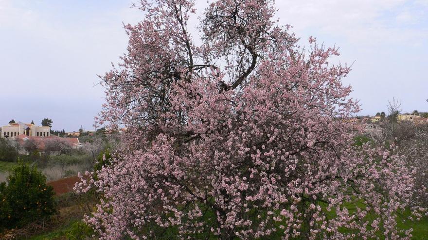 La floración de los almendros da la bienvenida a la fiesta más representativa de Puntagorda. Foto: Ayuntamiento de Puntagorda.