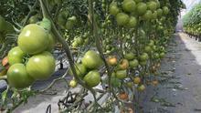 Plantación de tomate en Canarias