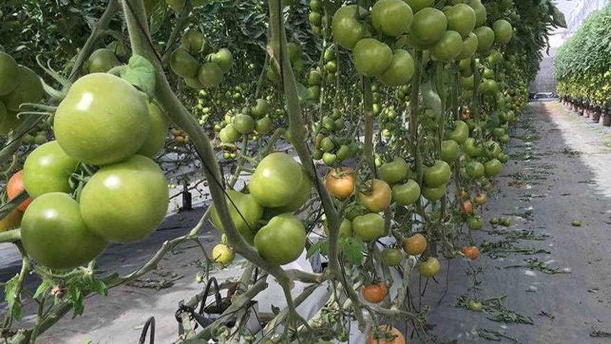 'Tomate  canario'
