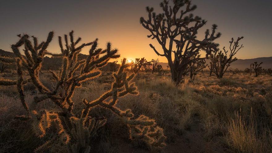 Los cactus se recortan sobre el cielo rojizo del Desierto de Mohave. Dan Zafra