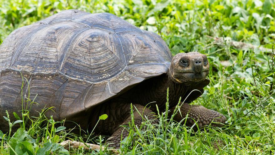 Tortuga gigante de las Islas Galápagos en la Reserva Natural de El Chato. VA