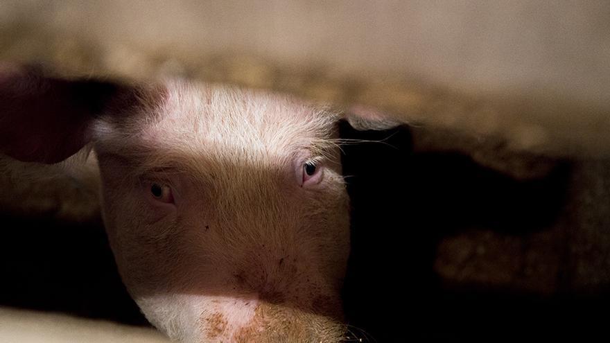 Este cerdo fue víctima de la matanza de Palencia, sin aturdimiento y con una agonía de más de diez minutos. Foto: Tras los Muros