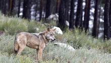 ¡Que venga el lobo!