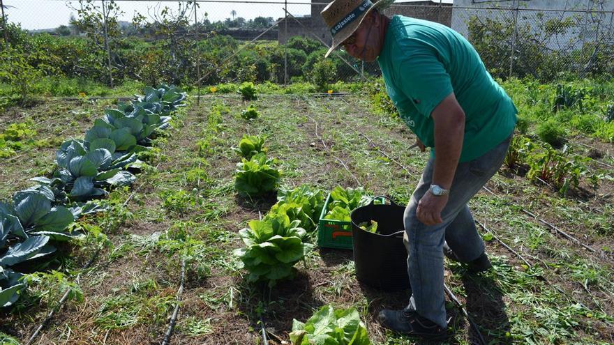 Recolecta de hortalizas.