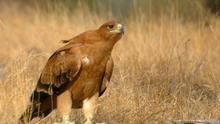 Balance de venenos de abril: dos águilas imperiales y un águila ratonera muertas