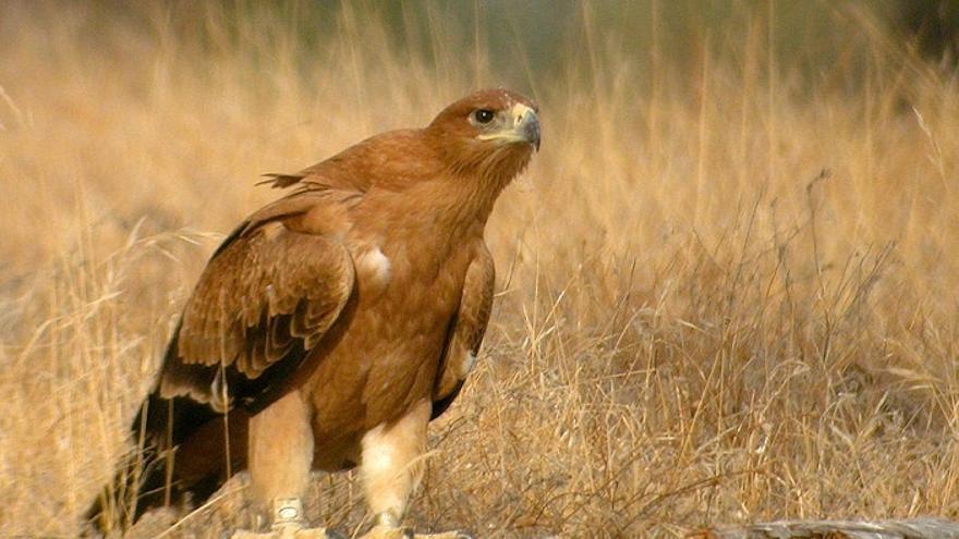 Se investigan las causas de la muerte de tres águilas imperiales que aparecieron en un radio de un kilómetro en Doñana