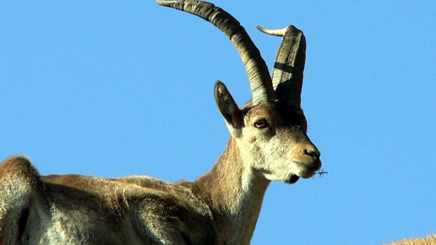 Medio Ambiente declara área de emergencia cinegética para controlar la sarna sarcóptica en cabra montés