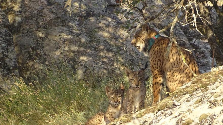La Federación de Caza pide 14 meses de cárcel e inhabilitación para cazar al cazador que mató a una lince de un tiro