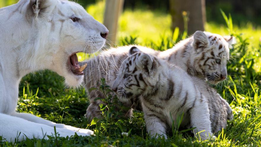 Tigres blancos en el parque navarro Sendaviva.