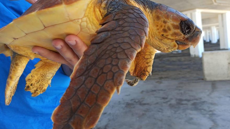 Tortuga caretta, hallada el pasado domingo enredada en redes de pesca en la Playa de Las Canteras.