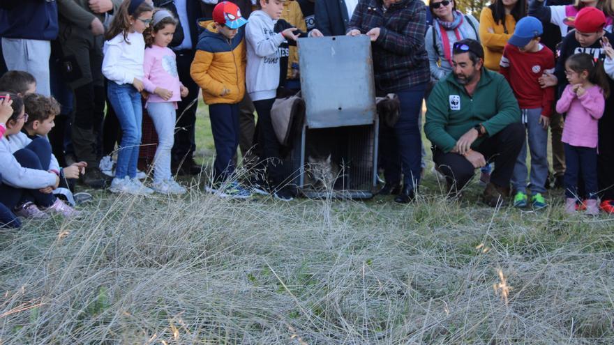 'Quisquilloso' ha sido reintroducido en el sur de la provincia de Ciudad Real