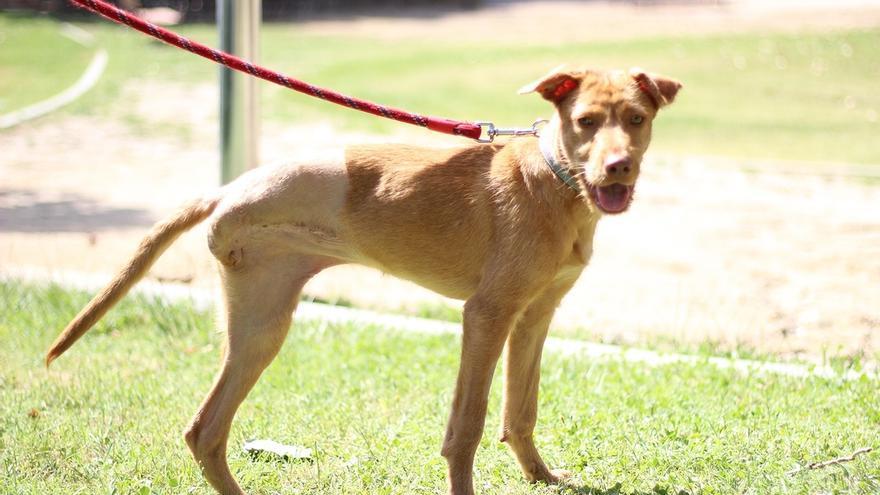 La protectora El Refugio busca familia a 'Cenicienta', una perra podenca de ocho meses con la pata amputada