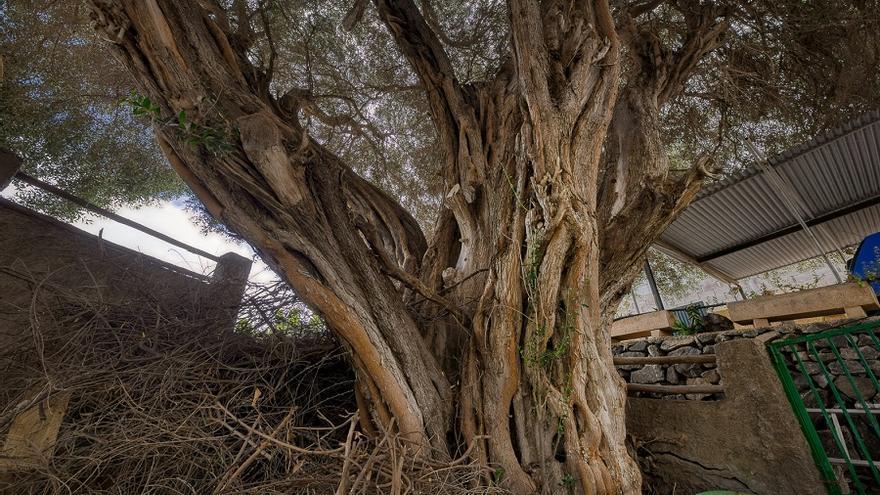 Acebuche de Llano Parra, en Gran Canaria