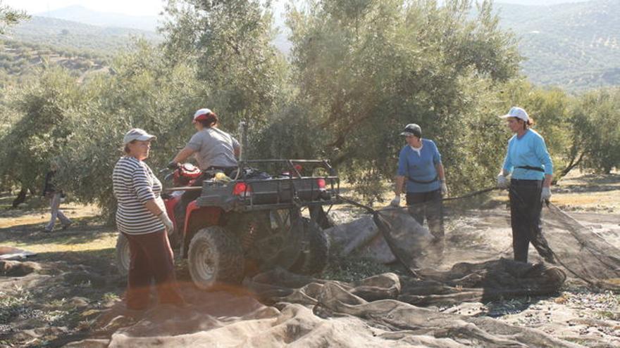 Mujeres trabajando en un olivar jiennense
