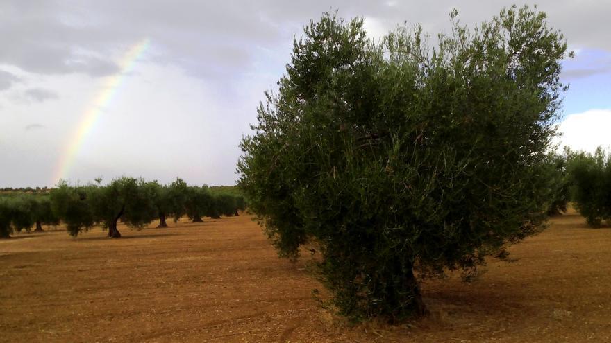 Olivar de Tierra de Barros