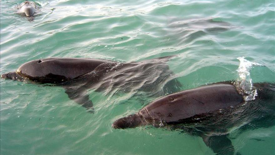 Matan a 700 delfines en las Islas Salomón por disputa económica con ecologistas