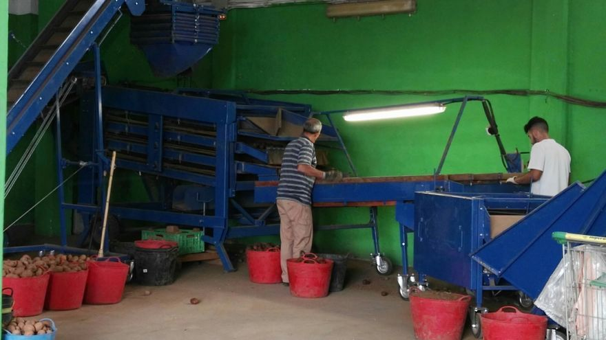 Trabajos de normalización de la papa en la Cooperativa Valle de La Orotava
