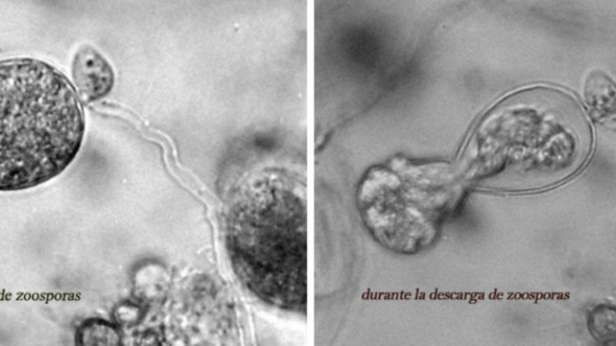 Imágenes captadas en el laboratorio de IPROCOR en las que se analiza el comportamiento de la Fitóftora (Phytophthora cinnamomi) / http://iprocor.gobex.es/