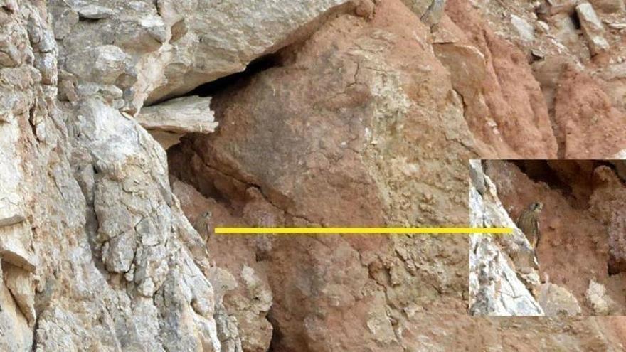 Nido de cernícalo primilla en la zona de extracción de la cantera de Almansa.