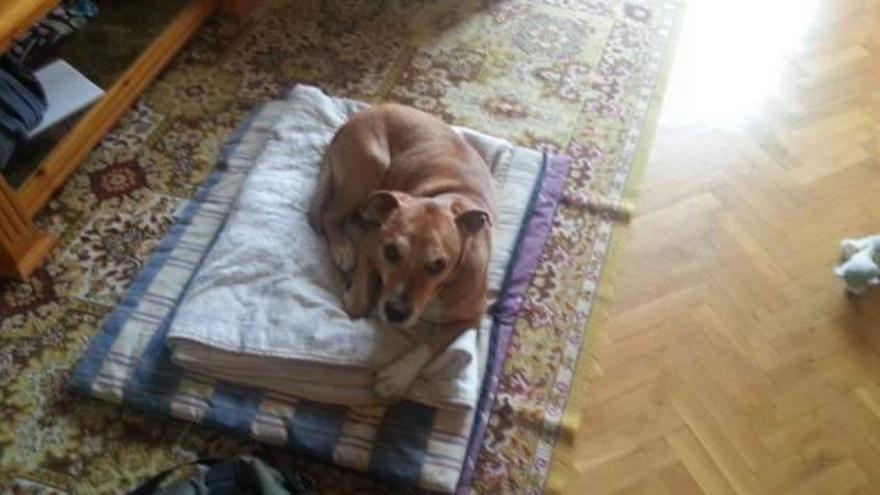 Exkálibur, el perro ejecutado en Madrid por las autoridades sanitarias