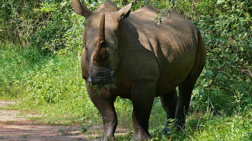 Rinoceronte en el santuario de Ziwa. Bernard DUPONT (CC)
