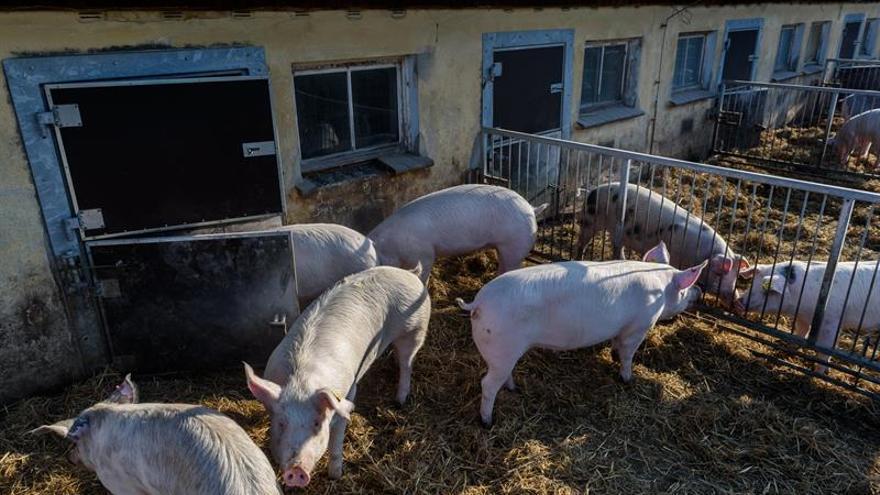 Cinco países prohíben productos húngaros del cerdo por la peste porcina africana