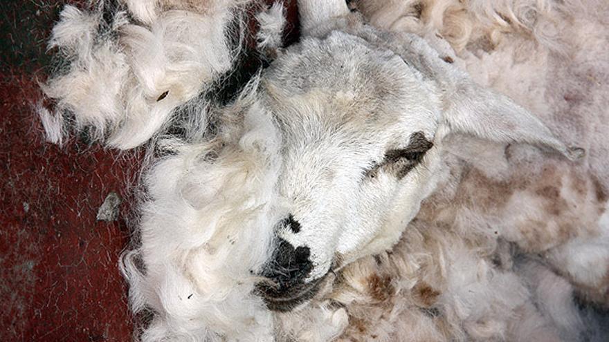 Del trasquilado de ovejas #16