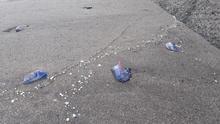 Medusas carabela en las playas de Anaga, Tenerife