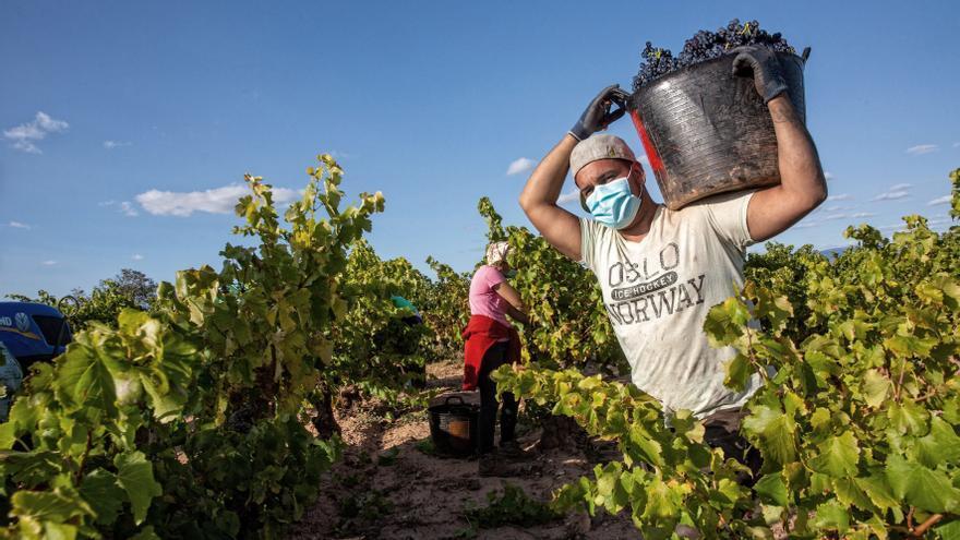 Temporeros cortando uva tinta.